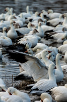 Snow Geese Causing a Flap