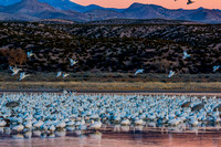 Snow Geese with Sandhill Cranes on pinkwater water