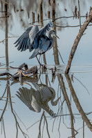 Great Blue Heron_Moving carefully 2