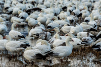 Snow Geese In a Crowd-2